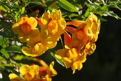 Yellow bells by Café Botanica, Tucson Botanical Gardens
