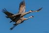 Cranes Fill the Air (MelRoseJ) Tags: thornton california unitedstates us sonyalpha sony sal70400g sonyilca77m2 a77ii alpha autofocus birds sandhillcranes cranes
