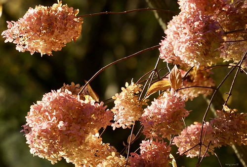 """September shot:  Hydrangea blossoms • <a style=""""font-size:0.8em;"""" href=""""http://www.flickr.com/photos/52364684@N03/26495763419/"""" target=""""_blank"""">View on Flickr</a>"""