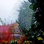 2017-11-10 garden in rain (1)cobweb thumbnail
