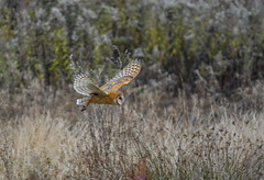 morning search (wesleybarr1962) Tags: owl barnowl tytoalba