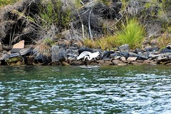 Sees a fish (thomasgorman1) Tags: egret white river colorado fishing birds riverfront shore nature nikon tires rocks plants trees foliage wildlife