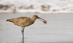 Appetizers (jmadjedi) Tags: shorebirds morrobay birds sandcrab whimbrel