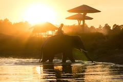 Let me go home (TOYTOMORN) Tags: elephant thailand ไทย ประเทศไทย หมู่บ้านช้าง จังหวัดสุรินทร์ สุรินทร์ อีสาน amateur asia asian a6500 alpha apsc apcs exposure reflex colour color colorful wide wideangle water reflection thai travel golden gold ilce6500 outdoor photo photography photographer pics landscape landscapes landmark light dawn dusk sony sky scene sunset skies selp18105g sony18105 life