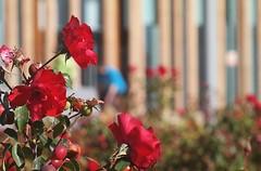 Rosales frente al que fue pabellón de España en EXPO ZARAGOZA, noviembre de 2017 (joseange) Tags: bokeh rosales expozaragoza leica pabellónespaña samsung españa aragón zaragoza manual desenfoque rosa rojo verde ernst leitz gmbh wetzlar ernstgmbhleitzernst hektorf135cm145