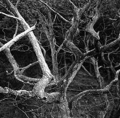 Branches (Tony Joness) Tags: analogue analog bw bnw blackandwhite blackwhite camera develop developer dxophotolab dxo epson epsonscanner england fomafix harrogate monochrome mono mediumformat rodinal rolleirpx100 rollfilm scanner scan square tlr trees tree twinlensreflex uk pushed v550 vintage yorkshire yashicamat yashica 6x6 120 120filmcamera branches