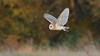 """Autumnowl"" (KHR Images) Tags: barnowl barn owl tytoalba wild bird birdofprey inflight flying hunting sunlight goldenhour autumn colour cambridgeshire fens eastanglia wildlife nature nikon d500 kevinrobson khrimages"