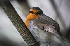 Robin (Forty-9) Tags: tomoskay forty9 ef70200mmf28lisiiusm canon eflens lightroom eos60d 30thnovember2017 november chatsworth bird thursday robin wildlife 30112017 robinredbreast