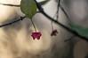 spindleberry (Emma Varley) Tags: berry spindleberry spindle uses name plant winter casing pink glow bokeh latesunshine evening nature botanical warm light