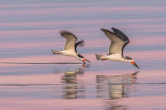 Sunset water - Black Skimmers (FollowingNature (Yao Liu)) Tags: ngc colorsonwater blackskimmers sunset followingnature sunsetcolors