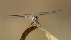 Landing (jrosvic) Tags: aeshnidae odonata libelula dragonfly anisoptera entomology macro micro freehand migranthawker kenkopro300x2 cartagena spain nikond2xs nikonafs300mmf4 coth5