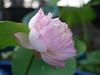 Sacred Lotus 'Fen Ling Long 13' Wahgarden Thailand 008 (Klong15 Waterlily) Tags: lotus thailandlotus flower lotusflower pond pondplant landscape nelumbonucifera