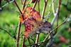 HFF (Gil V) Tags: zaun weinberge weinblatt bunt fence vineleaf herbst novemver autumn