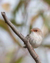 Superb Fairy-Wren (female) (Matt OZW) Tags: birds