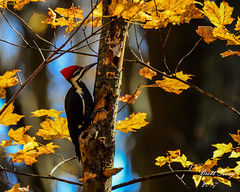Pileated - fall colors (dbking2162) Tags: birds bird nature nationalgeographic fall leaves pileated woodpecker wildlife animal outside outdoor summitlakestatepark indiana