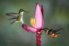 Nectar Central (rickdunlap2) Tags: ocreatusunderwoodii calliphloxmitchellii purplethroatedwoodstar bootedrackettail hummingbird ecuador tandayapabirdlodge animal wildlife bird female