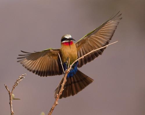White-throated  Bee-eater ,jpg