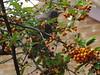 Blackbird sitting in the tree (Joyce Waugh) Tags: black bird blackbird female orange berries eye beady branch branches autumn berry eastlothian musselburgh