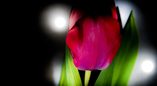 Red Tulip and shadow.