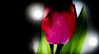 Red Tulip and shadow. (CWhatPhotos) Tags: red light photographs photograph pics pictures pic picture image images foto fotos photography artistic cwhatphotos that have which with contain em5 mk ii omd olympus esystem four thirds digital camera lens olympusem5 43 mft micro macro flowers flower nature color colour colors colours vibrant 30mm mzuiko m zuiko closeup close up macrolens f35 tulipa tulp heads head shadowed shadow shadows lidl lidlflowers tulip