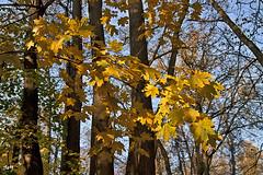 Los colores otoñales.... (svet.llum) Tags: otoño color paisaje moscú luz árbol rusia planta parque ciudad