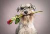 casanova (donnyhughes) Tags: miniatureschnauzer dog valentine february