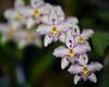 odontoglossum 9385 (DannyBurkPhotography) Tags: odontoglossum bokeh soft zeiss makro 100mm focus white purple makroplanar1002ze