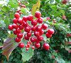 Tempting (Lexie's Mum) Tags: continuing30dayswild walking walks walkingthedog nature wildlife scenery floraandfauna red berries shiny