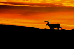Sunrise Buck (Khurram Khan...) Tags: whitetaileddeer sunrise wildlife wildlifephotography wild wwwkhurramkhanphotocom winter orange ilovewildlife ilovenature iamnikon nikonnofilter deer silhouette photography naturephotography naturephotos