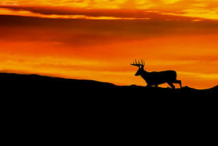 Sunrise Buck