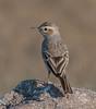 Tawny Pipit (rphanikrishna) Tags: tawny pipit india hyderabad osman sagar canon70d hbp birds