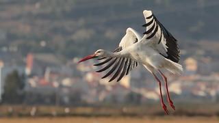 Cegonha branca - Ciconia ciconia - White Stork