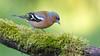 Chaffinch - Vink (Wim Boon (wimzilver)) Tags: wimboon vink bird vogel vogelhut canon300mmf4lis14ex canoneos5dmarkiii alblasserwaard holland nederland netherlands nature natuur