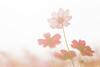 cosmos (Cheng Yang, Chen) Tags: 新社花海 波斯菊 逆光 光 cosmos taichung taiwan flower backlighted bokeh 散景 canon cosmosbipinnatus
