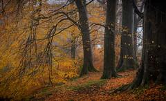 End of Autumn (chrismarr82) Tags: nikon autumn tree leaf woodland scotland