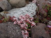 Patterns by the Sea (Ian Robin Jackson) Tags: nature seaside scotland sony zeiss patterns pink flower 2017 highland unspoiled