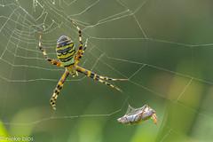 Spiderweb-5 (niekeblos) Tags: spider spiderweb web stack nature bokeh prey canon60d macro tigerspider