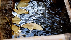 Purify your hands and mouth (coniferconifer) Tags: 手水舎 神社 shinto shrine japan ginko イチョウ