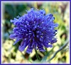 Scabious For Jan (ERIK THE CAT Struggling to keep up) Tags: castle stafford flowers wildflowers ngc doublefantasy npc