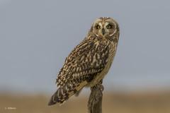 Short-eared Owl / Hibou des marais (shimmer5641) Tags: asioflammeus shortearedowl hiboudesmarais raptor bird prey birdofprey britishcolumbiacanada birdsofbritishcolumbia birdsofnorthamerica