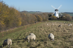 Green Ridge Windmill Pastoral Scene (grahambrown1965) Tags: pentaxk5iis ricoh pentax k5iis 70mm limitedlens 70mmlimitedlens pentax70mmlimitedlens pentaxhd70mmlimitedlens pastoral sheep sheepgrazing landscape countryside brighton sussex eastsussex windmill windmills green ridge greenridge autumn autumnal prime primelens greenridgewindmill