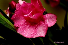 When she is bejewelled with the dew drops! (@RJ photography) Tags: flower garden nature dewdrops rain pink freshness refreshing canon1300d canoneos morning