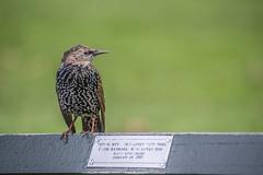 for Marty from Barbara (gianmarco giudici) Tags: bird ny nikond600 gianmarcogiudici centralpark nopeople storno