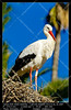 white stork (__Viledevil__) Tags: animal beak beautiful beauty bird black blue care ciconia ciconiiformes color fauna feather freedom high light migrate nature neck one open outdoor pure purity sky stork tranquil view white wild wilderness wildlife wing