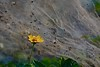 Morning at Tank Bund 02 (Rajesh_India) Tags: flower hussainsagarlake hyderabad india yellow trapped