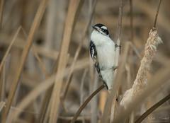 Downy Woodpecker (Nick Scobel) Tags: downy woodpecker bird picoides pubescens michigan