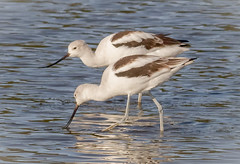 American Avocets feeding (tresed47) Tags: 2017 201710oct 20171025bombayhookbirds avocet birds bombayhook canon7d content delaware fall folder october peterscamera petersphotos places season shorebirds takenby us