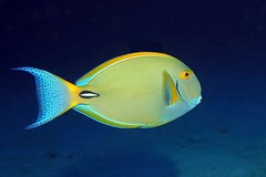 patterned (BarryFackler) Tags: fish sealife animal fauna marinelife aquatic seacreature organism life zoology biology undersea ocean bay marine reef sea island marinebiology 2017 konadiving bigislanddiving coralreef surgeonfish acanthurusdussumieri palani eyestripesurgeonfish tang adussumieri barryfackler westhawaii pacificocean honaunaubay vertebrate creature tropical diver scuba ecology outdoor polynesia hawaii bigisland water saltwater sealifecamera konacoast hawaiiisland southkona honaunau sandwichislands hawaiianislands kona diving marineecosystem being hawaiidiving barronfackler tropicalfish hawaiicounty dive nature marineecology ecosystem