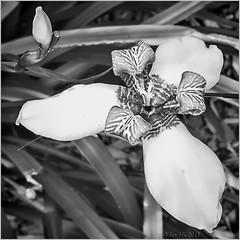 Walking Iris (Neomarica) (boeckli) Tags: flowers flower flora fleur blume blumen blüten bloom blossom blossoms blooms blackandwhite blackwhite schwarzweiss border photoborder artweekgallerygroup 7dwf thursday bw