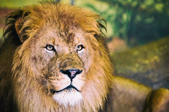 King of Beasts (Thomas Hawk) Tags: america chicago cookcounty illinois lincolnparkzoo usa unitedstates unitedstatesofamerica lion us fav10 fav25 fav50